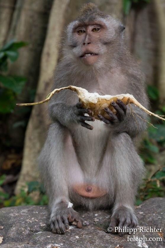 Affe im Monkey-Forest, Ubud, Bali